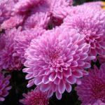 Незрівнянні хризантеми: особливості рослин, різновиди і догляд за ними