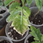 Як захистити розсаду від захворювань?