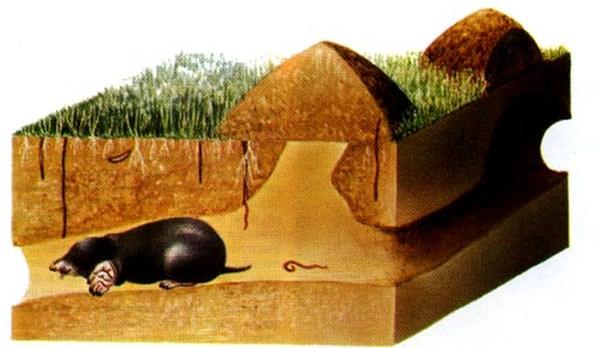 Борьба с кротами на дачном участке народными и техническими средствами