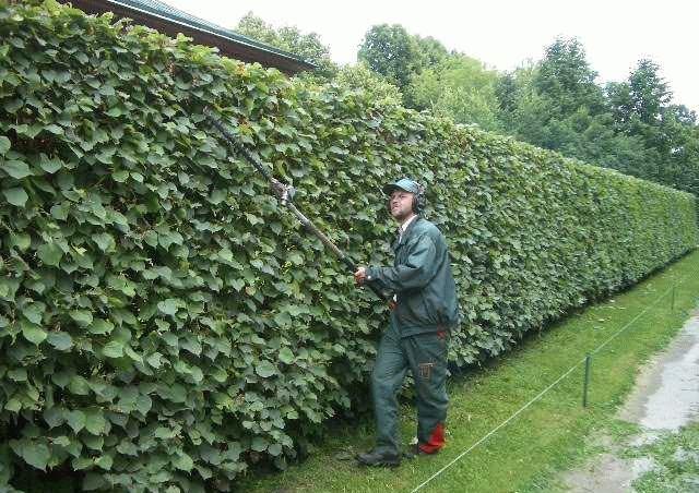 Делаем живую изгородь на даче из барбариса