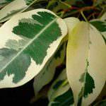 Фікус – догляд в домашніх умовах або як правильно вирощувати рослину?