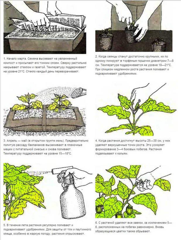 Как и когда высаживать рассаду баклажан в 2018 году: пошаговая инструкция
