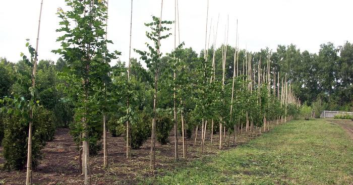 Как сделать быстрорастущую живую изгородь на даче?