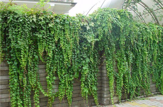 Как выбрать вьющиеся растения для забора