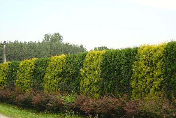 Особенности живой изгороди из туи на даче