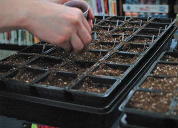 Сеем рассаду капусты: сроки высадки по лунному календарю и рекомендации