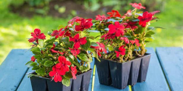 Сроки, в которые лучше всего сеять рассаду цветов по лунному календарю
