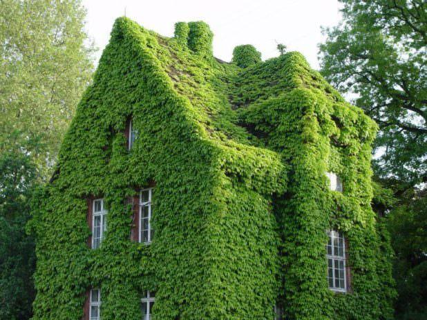 Выбираем вьющиеся растения для дачи – виды, фото и особенности